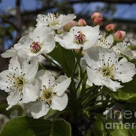 Spring Apple Blossoms by Lingfai Leung