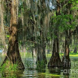 Bald cypresses, Lake Martin, Louisiana by Patricia Hofmeester