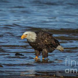 Bald Eagle 23 by Mitch Shindelbower