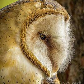 Barn Owl by Joseph Miko