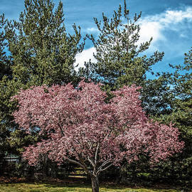 Beautiful  Dogwood by Robert Bales