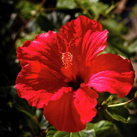 Beautiful Red Hibiscus by Robert Bales