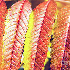 Beautiful Staghorn Sumac bush plant colorful leaves in autumn season by Gregory DUBUS