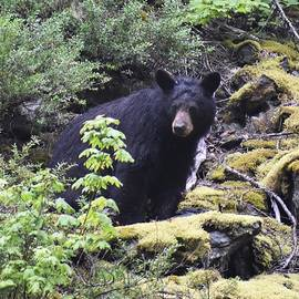 Black Bear by Marta Kazmierska