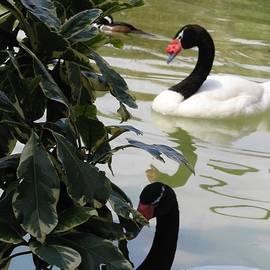 Black Necked Swam by Inez Ellen Titchenal