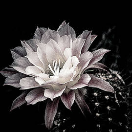 Blooming Cactus by Julie Palencia