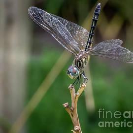 Blue Dasher Dragonfly  by Mitch Shindelbower