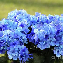 Blue Hydrangea by Sandra Huston