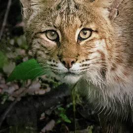 Bobcat 8639 by Dan Beauvais