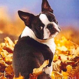 Boston Terrier by Nehemiah Art