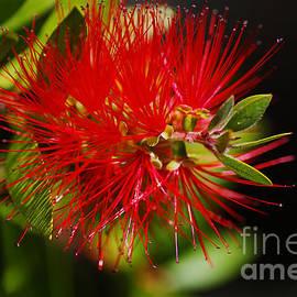 Bottlebrush Flower by Joy Watson