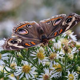 Buckeye Butterfly by John Haldane