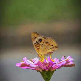 Buckeye Butterfly by Mitch Shindelbower