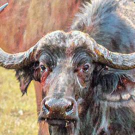 Buffalo Portrait by John Haldane