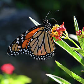 Busy Monarch Butterfly by Robert Tubesing