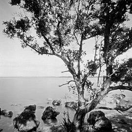 Buttonwood by Rudy Umans