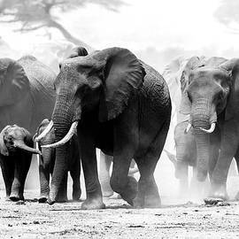Calf and elephant herd