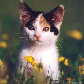 Calico Kitten by Diane Kurtz