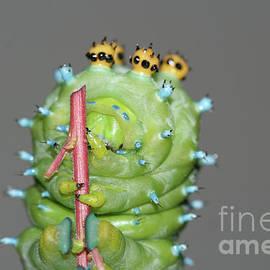 Cecropia Caterpillar by Megan McCarty