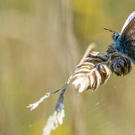 Common Blue by Stephen Jenkins