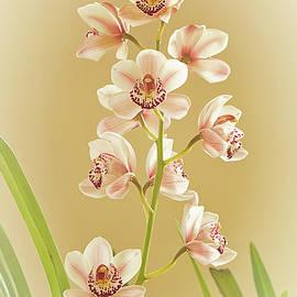 Cymbidium Orchid by Robert Murray
