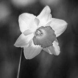 Daffodil Glow in Black and White by Marilyn DeBlock