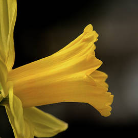 Daffodil Profile by Don Johnson