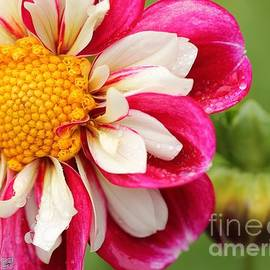 Dahlia named Bumble Rumble by J McCombie