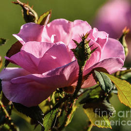 Dazzling Peachy Knock Out Rose by Cindy Treger