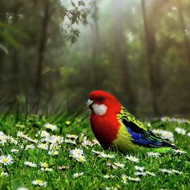Eastern Rosella by Graham Buffinton