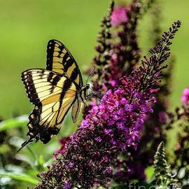 Dazzling Eastern Tiger Swallowtail by Cindy Treger