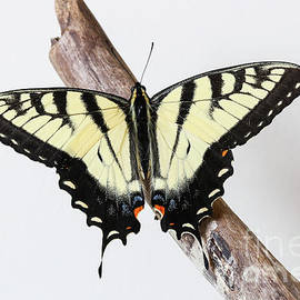 Eastern Tiger Swallowtail by Megan McCarty