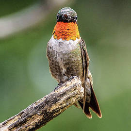 Making Eye Contact With A Ruby-throated Hummingbird by Cindy Treger