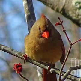Female Cardinal by Eunice Warfel
