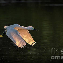 Flight of the Egret by Priscilla Burgers