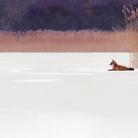 Fox on Ice by Roeselien Raimond