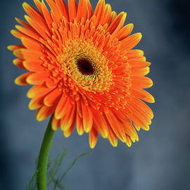 Fresh  beautiful orange  daisy flower blossom.  Blooming  flower by Michalakis Ppalis