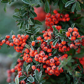 Frosty Red Berries of Firethorn by Jenny Rainbow