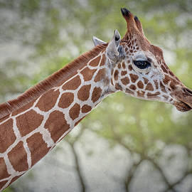 Giraffe II by Joan Carroll