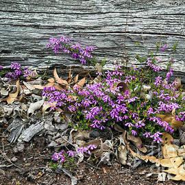 Glandular Pink-bells - Tetratheca labillardierei 3 by Elaine Teague