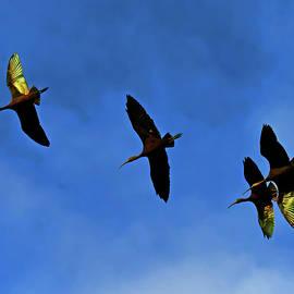 Glossy Ibis by Stuart Harrison