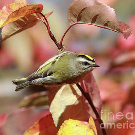 Golden-crowned Kinglet by Gary Wing