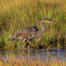 Great Blue Heron Stalking by Marty Saccone