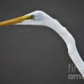 Great Egret At Big Lake in City Park New Orleans, Louisiana by Michael Hoard
