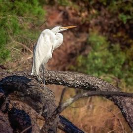 Great Egret by Steve Rich