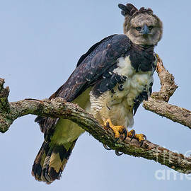 Harpy Eagle by Robert Goodell
