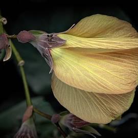 Hawaiian Hau Flower by Heidi Fickinger
