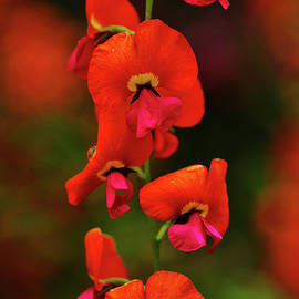 Heart-leaved Flame Pea by Bette Devine