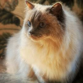 Himalayan Cat Portrait by Marilyn DeBlock