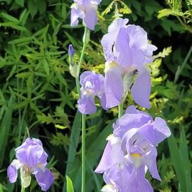 Iris Garden Splendor by Charlotte Gray
